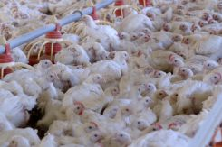 KFC policy on animal welfare provides little detail and raises serious concerns about the welfare standards for the chickens raised in the company's supply chain.